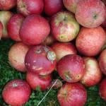 Tuse Næs Æblefestival D. 4. – 5. oktober fra kl. 11-17