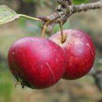 Søndag d. 4. oktober 2020 – Æblefestival i Huset på Næsset